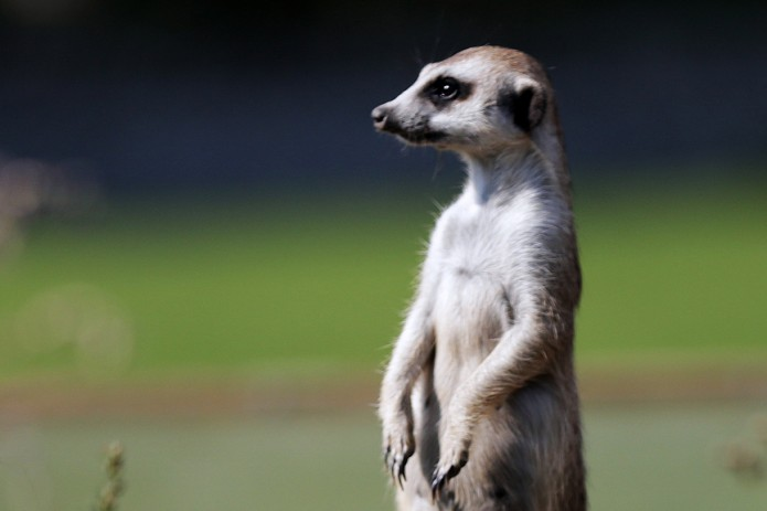 Meerkats predict Russia win in World Cup opener