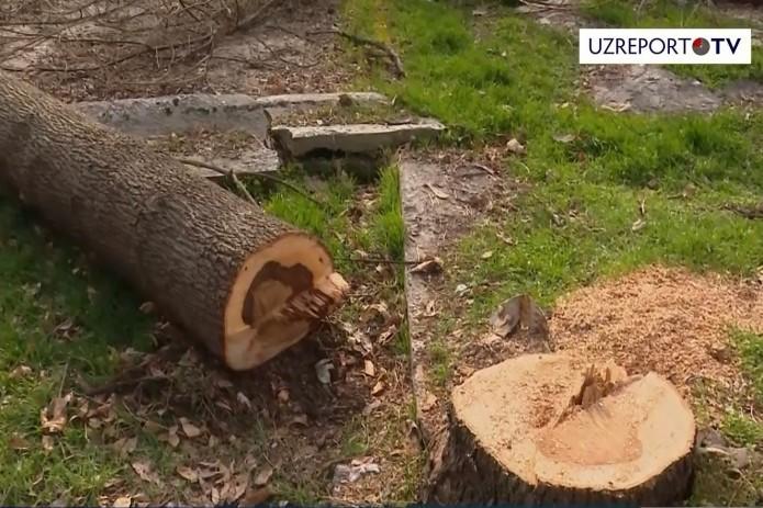 Вандалы саботируют мораторий: в Ташкенте срубили 81 дерево (Видео)
