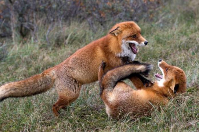 Одноухая и трехногая лисица вызвала переполох в Германии (фото)
