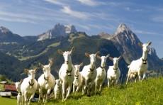 В Узбекистане будут разводить элитные породы испанских коз и овец