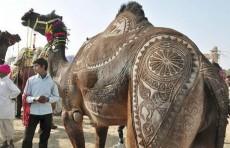 В Саудовской Аравии проходит конкурс красоты среди верблюдов