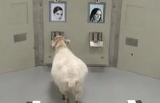 Ученые: овцы могут распознавать лица людей