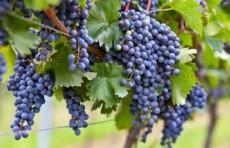 Узбекистан выделит около 70 млрд. сумов на развитие виноградарства