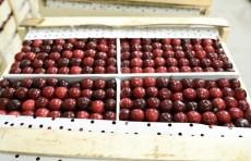 Из Ферганской долины в Южную Корею экспортировали более 52 тонн черешни