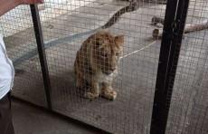 В частном доме в Коканде нашли львенка